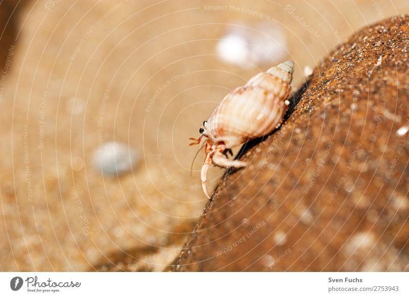 Einsiedlerkrebs läuft auf einem Felsen exotisch Ferien & Urlaub & Reisen Sommer Strand Meer Häusliches Leben Haus Natur Tier Sand Wasser Küste Haustier Muschel