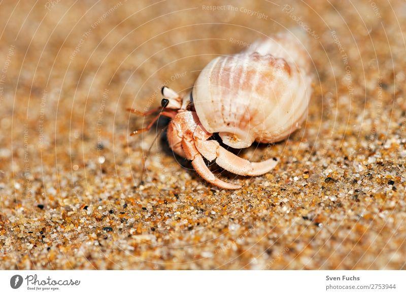 Einsiedlerkrebs läuft auf Sandstrand exotisch Ferien & Urlaub & Reisen Sommer Strand Meer Häusliches Leben Haus Natur Tier Wasser Küste Haustier Muschel klein