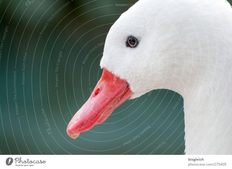 Augenblick V weiß grün rot Tier Kopf Vogel Tiergesicht Wachsamkeit Schnabel Gans achtsam