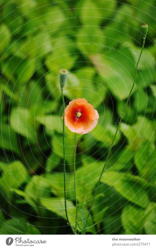 bald ist wieder mohntag Natur weiß grün Sommer rot Pflanze Blatt gelb Wiese Leben Frühling Blüte Garten Park orange elegant