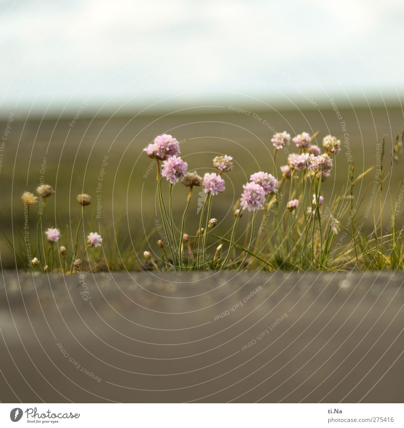 Strandbömmels | Helmsand Natur weiß grün Sommer Pflanze Landschaft Umwelt Frühling Küste klein rosa Tourismus Schönes Wetter violett Blühend Nordsee