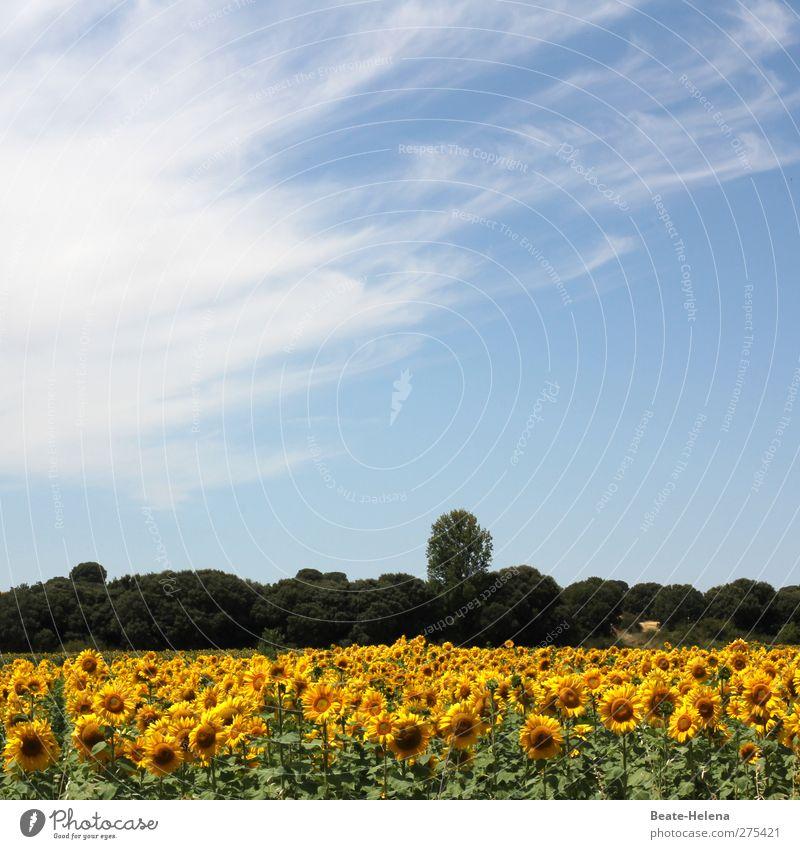 Der Nordspanische Sommer blau Ferien & Urlaub & Reisen grün Sommer Pflanze ruhig Erholung Ferne gelb Blüte Stimmung Feld Freizeit & Hobby ästhetisch Landwirtschaft Blühend