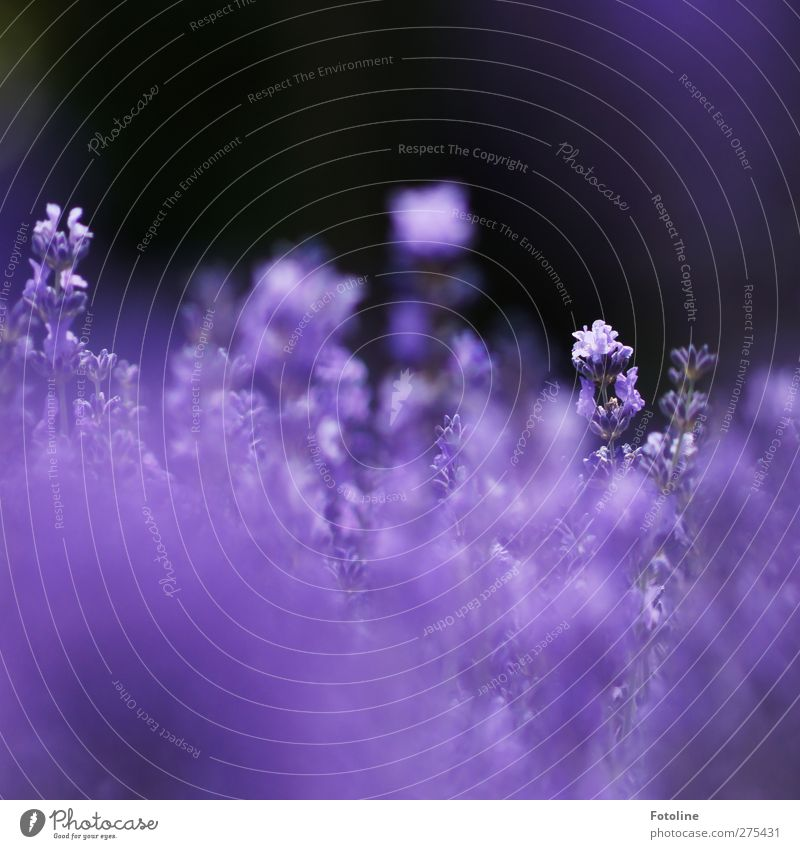 Lavendel Umwelt Natur Pflanze Sommer Blume Blüte Garten Park natürlich violett Lavendelfeld Farbfoto mehrfarbig Außenaufnahme Nahaufnahme Menschenleer