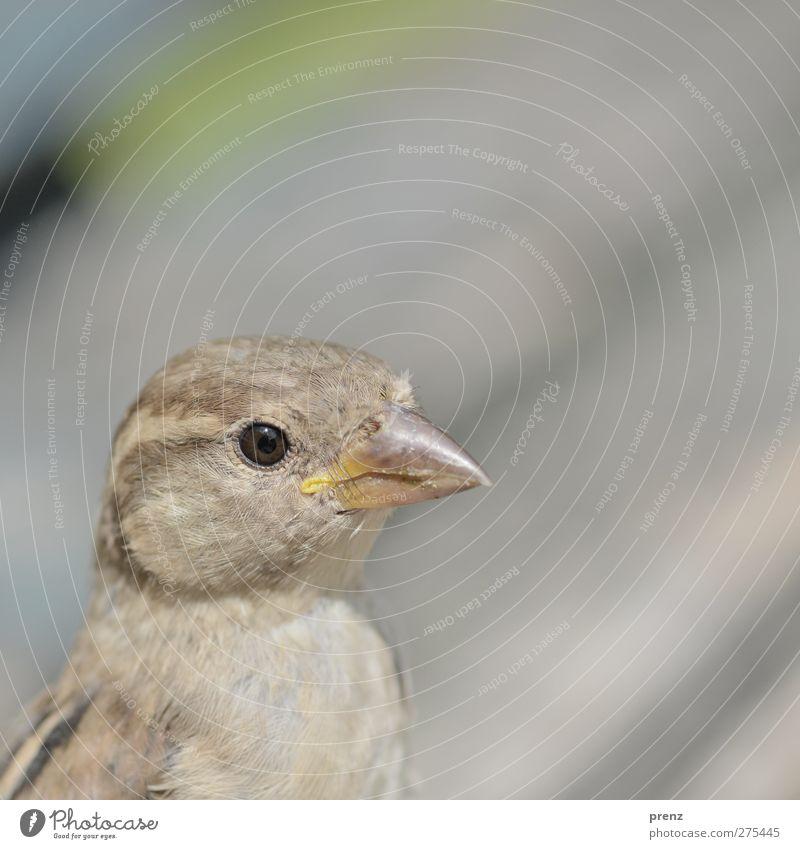 portrait Umwelt Natur Tier Wildtier Vogel 1 grau Kopf Schnabel Farbfoto Außenaufnahme Textfreiraum rechts Textfreiraum oben Tag Zentralperspektive Tierporträt