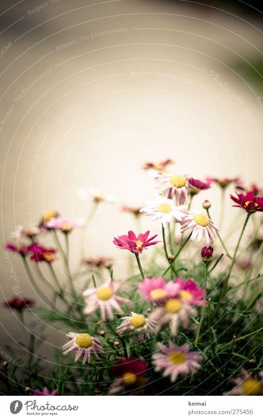 AST5 | Margerite again Natur Pflanze Sonnenlicht Sommer Blume Blatt Blüte Topfpflanze Garten Park Blühend Wachstum schön rosa weiß Farbfoto Gedeckte Farben