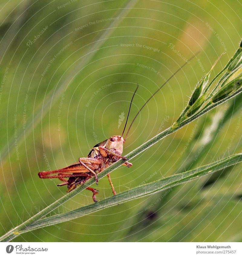 Hüpfer Pflanze Gras Wiese Tier Heuschrecke 1 gold grün rot Insekt Fühler Sprungbein Sommer Farbfoto Außenaufnahme Makroaufnahme Tag Blitzlichtaufnahme