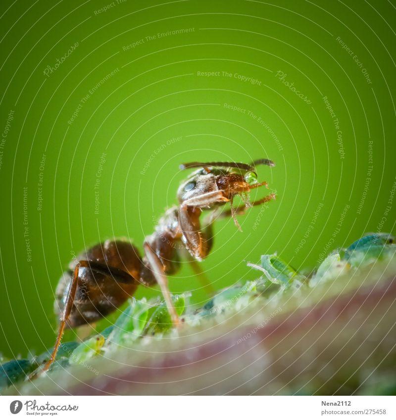 Zuchtmelken (Symbiose) Natur grün Sommer Blatt Tier braun Sträucher Tiergruppe Tropfen Insekt Tierzucht Ameise züchten zusammengehörig