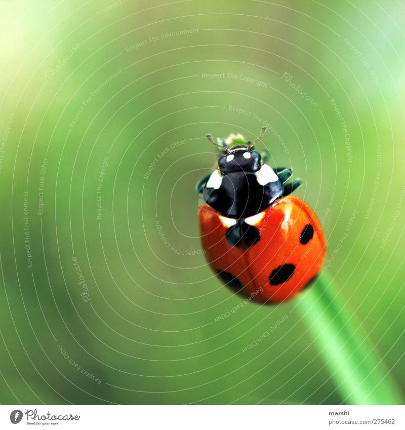Glücksbringer Pflanze Tier Käfer 1 grün rot schwarz Marienkäfer Punkt klein Schwache Tiefenschärfe Farbfoto Außenaufnahme Nahaufnahme Makroaufnahme Tierporträt