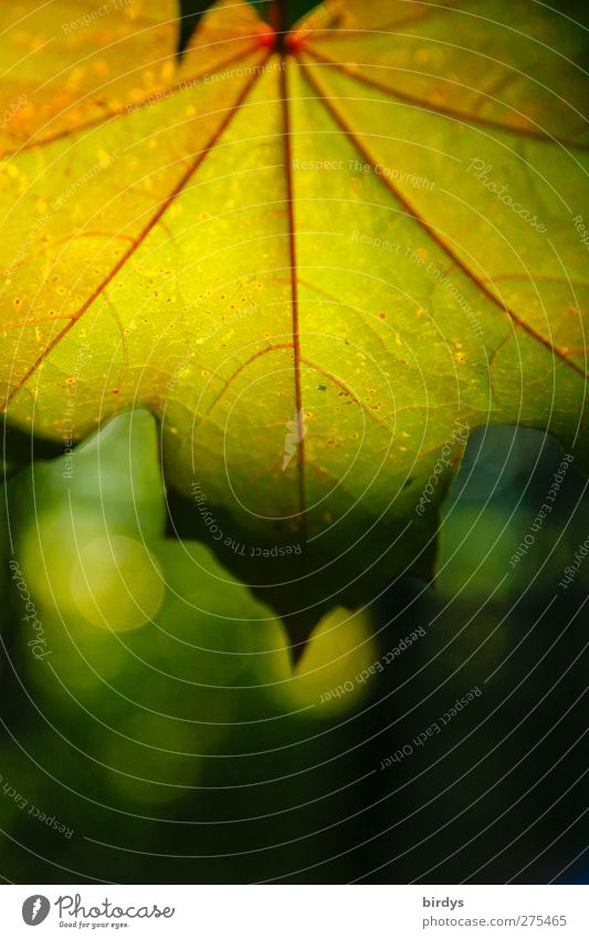 Blätterleuchten Natur grün Sommer rot Pflanze Farbe Blatt gelb Wärme ästhetisch Schönes Wetter Freundlichkeit Ahornblatt Blattadern