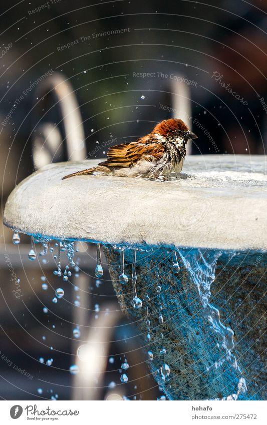 Badender Spatz Wasser Tier Stein Vogel braun Schwimmen & Baden Wildtier heiß