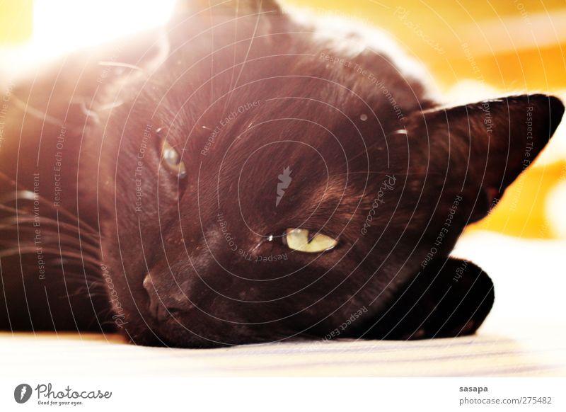 easy going Tier Haustier Katze Tiergesicht 1 Erholung genießen Lächeln liegen schlafen Freundlichkeit schön niedlich Geschwindigkeit gelb schwarz Zufriedenheit