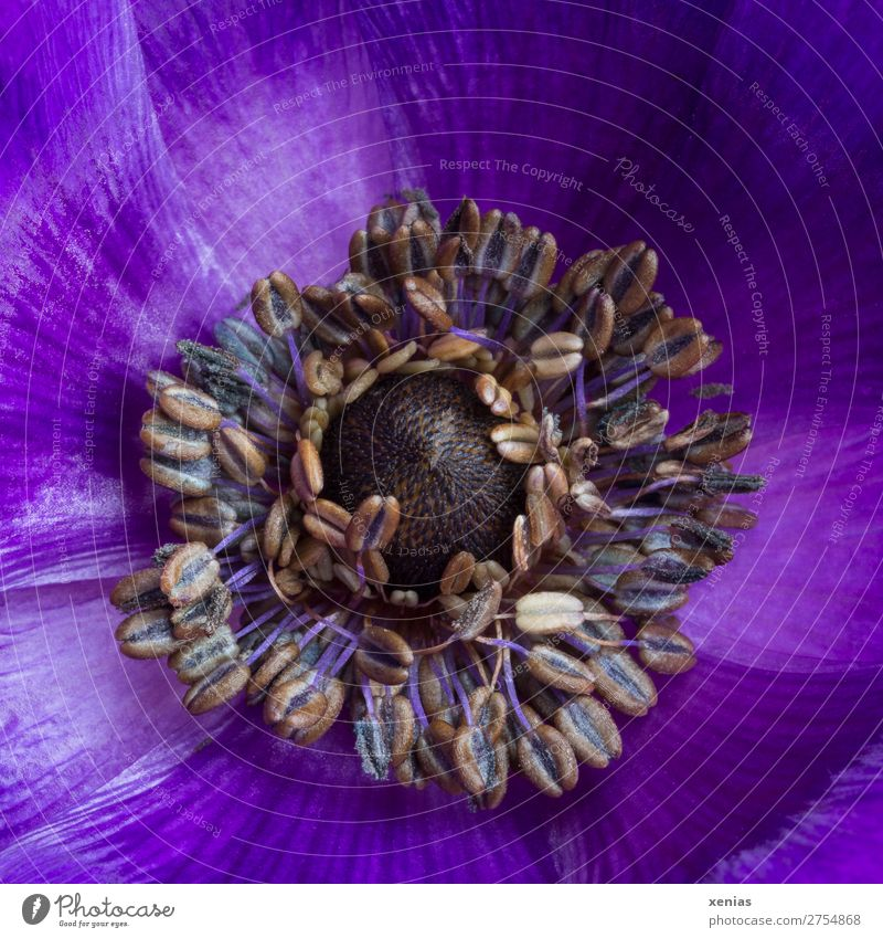 Violette Anemone Blume Blüte Frühling braun Blühend violett Blütenblatt Staubfäden Anemonen Hahnenfußgewächse