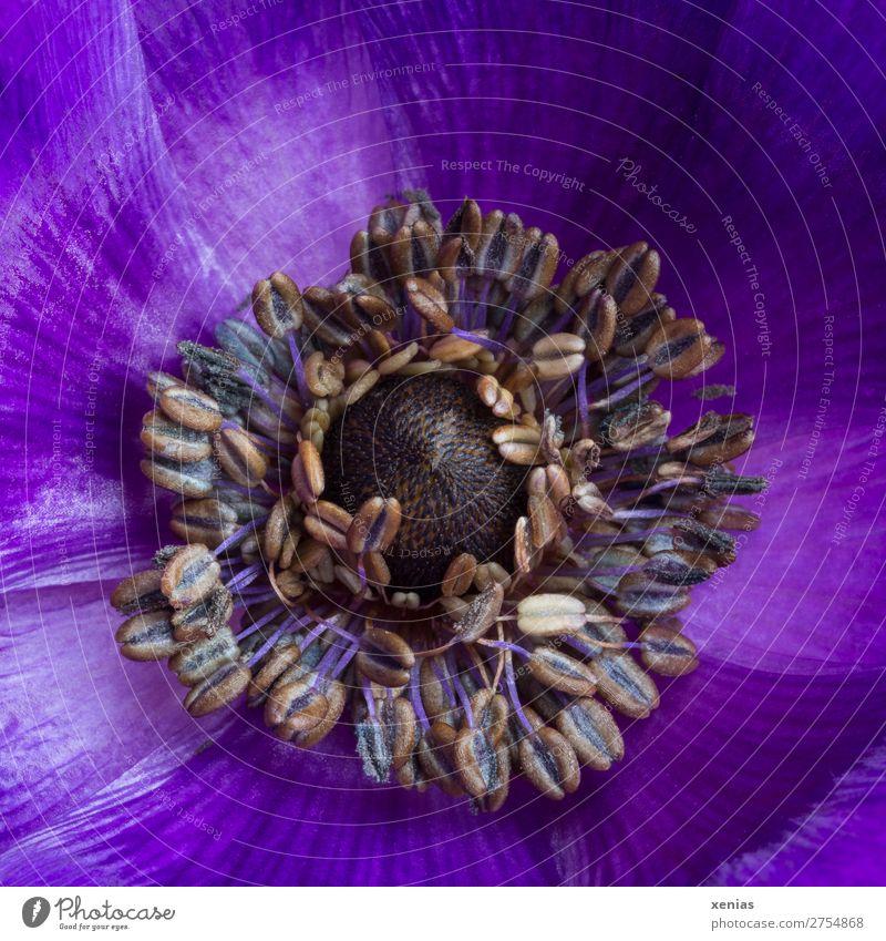 Violette Anemone Frühling Blume Blüte Anemonen Hahnenfußgewächse Blühend braun violett Staubfäden Blütenblatt Farbfoto Studioaufnahme Nahaufnahme Detailaufnahme