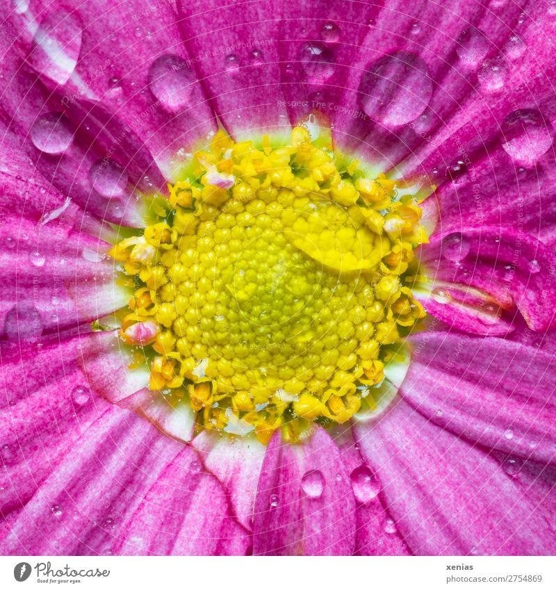 Rosa Margerite mit Wassertropfen Frühling Sommer Blume Blüte Blühend nass gelb rosa Zungenblüte Farbfoto Studioaufnahme Makroaufnahme Textfreiraum unten