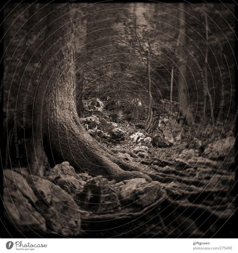verwurzelt Natur alt Baum Pflanze Wald Umwelt dunkel Stein Erde natürlich Wachstum Urelemente Ast gruselig Baumstamm aufwärts