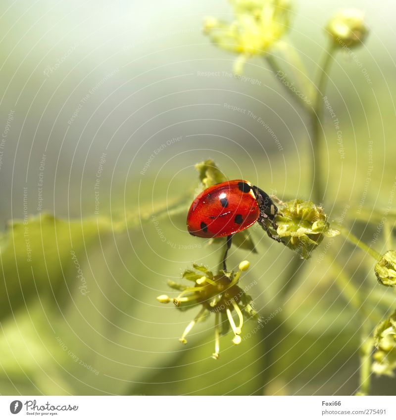 Balance halten Natur Frühling Sträucher Wiese Tier Wildtier Käfer Marienkäfer 1 beobachten entdecken dick glänzend schön natürlich niedlich grün rot schwarz