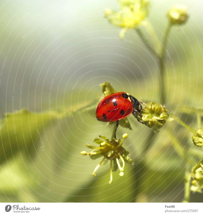 Balance halten Natur grün schön rot Tier schwarz Wiese Frühling Stimmung Wildtier natürlich glänzend Sträucher niedlich beobachten entdecken