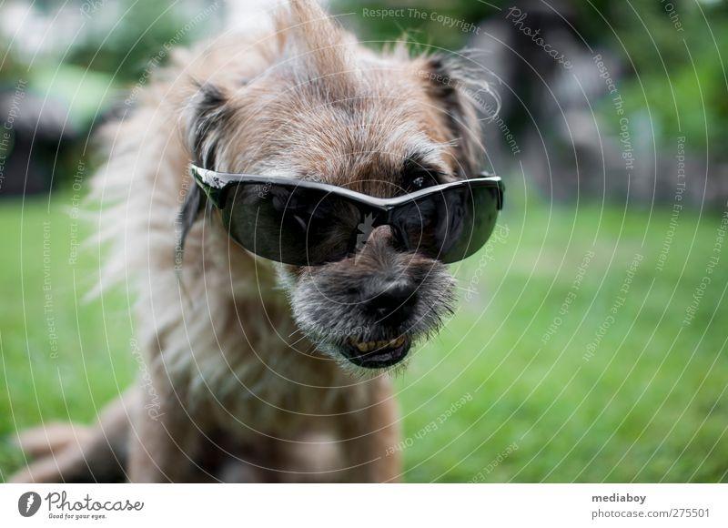 UV-Schutz Hund Sommer Tier Erholung Gras Haare & Frisuren Garten Behaarung einzigartig Tiergesicht skurril brünett Punk bizarr Sonnenbrille Accessoire
