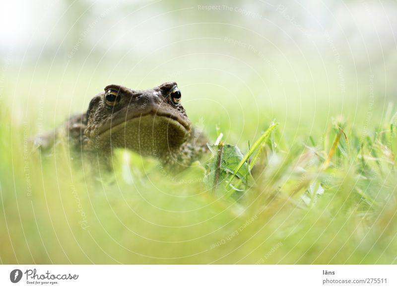 küss mich Kröte Gras Natur Amphibie Traumprinz Prinz verwandeln
