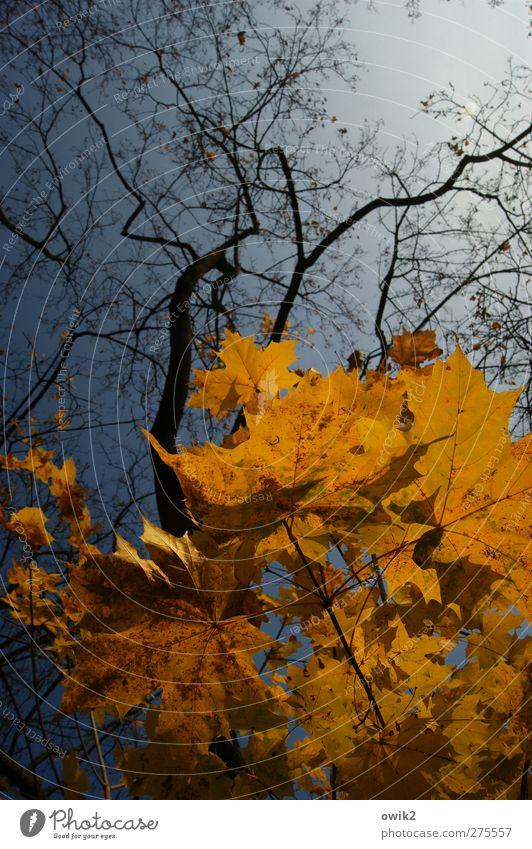 Baldachin Umwelt Natur Landschaft Pflanze Luft Himmel Wolkenloser Himmel Herbst Klima Wetter Schönes Wetter Baum Blatt Wildpflanze Ahorn Ahornblatt