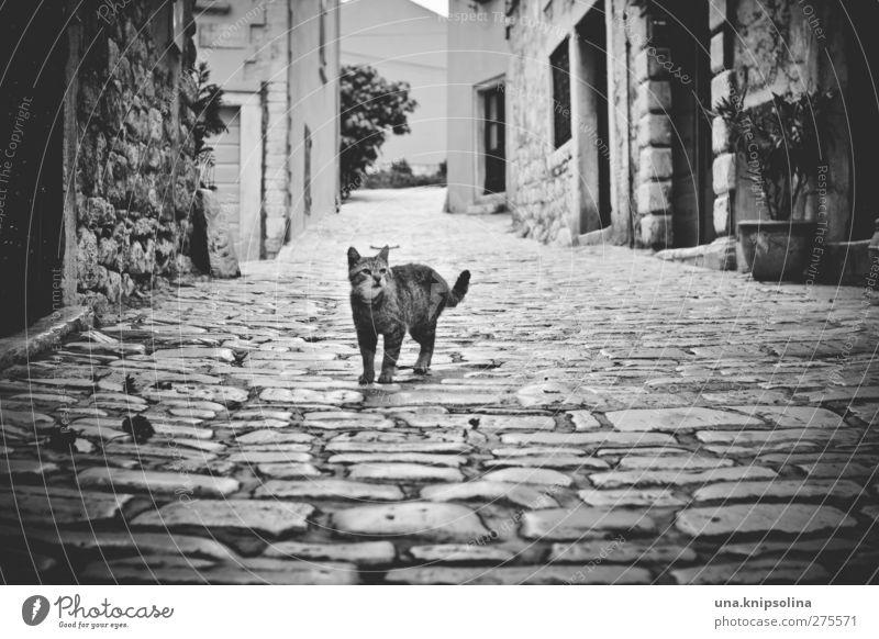 maca Rovinj Stadt Altstadt Menschenleer Haus Mauer Wand Straße Wege & Pfade Kopfsteinpflaster Haustier Katze beobachten stehen dunkel eckig natürlich Neugier