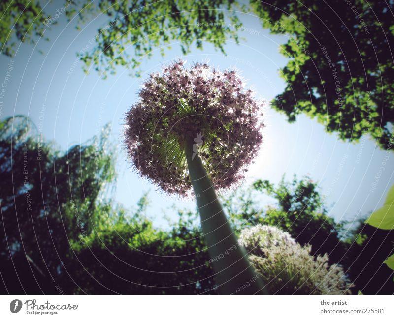 Ameisenperspektive Natur Pflanze Himmel Wolkenloser Himmel Sonnenlicht Sommer Schönes Wetter Baum Blume Zierlauch Garten frei Freundlichkeit Unendlichkeit blau