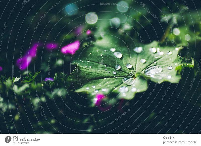 Tau Natur Wasser grün Sommer Pflanze Blatt Umwelt Wiese Blüte Garten träumen Park Regen Wetter rosa Klima