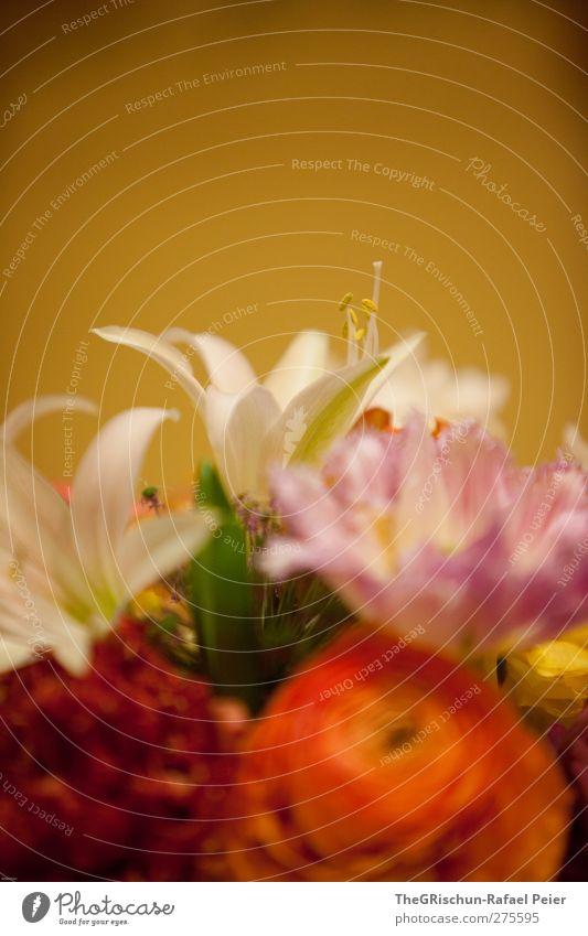 buntblumen Natur Pflanze Blüte Topfpflanze exotisch mehrfarbig gelb gold grün violett orange rosa rot weiß Blumenstrauß blumig Farbfoto Innenaufnahme