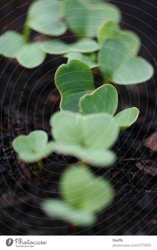 junges Gemüse Radieschen Gartengemüse Bio vegan organisch Ernährung Bioprodukte Jungpflanze Nutzpflanze wachsen vegetarisch Gemüsegarten Frühlingsgarten