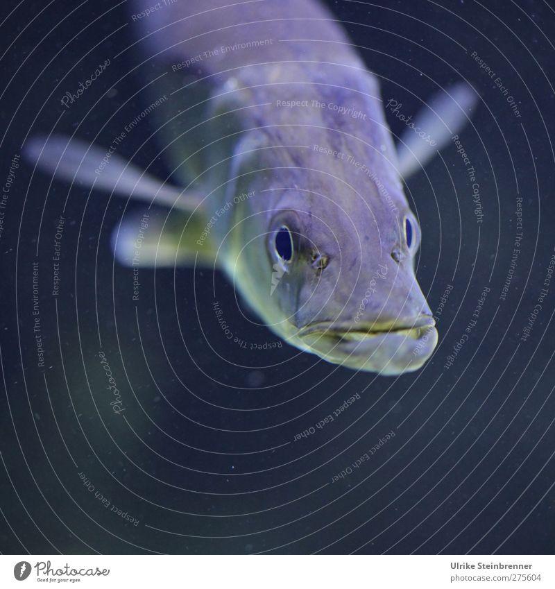 Meine Fresse Natur Gesicht Auge Lebensmittel Bewegung Schwimmen & Baden Kraft natürlich nass Fisch beobachten Neugier Konzentration Wachsamkeit atmen Aquarium