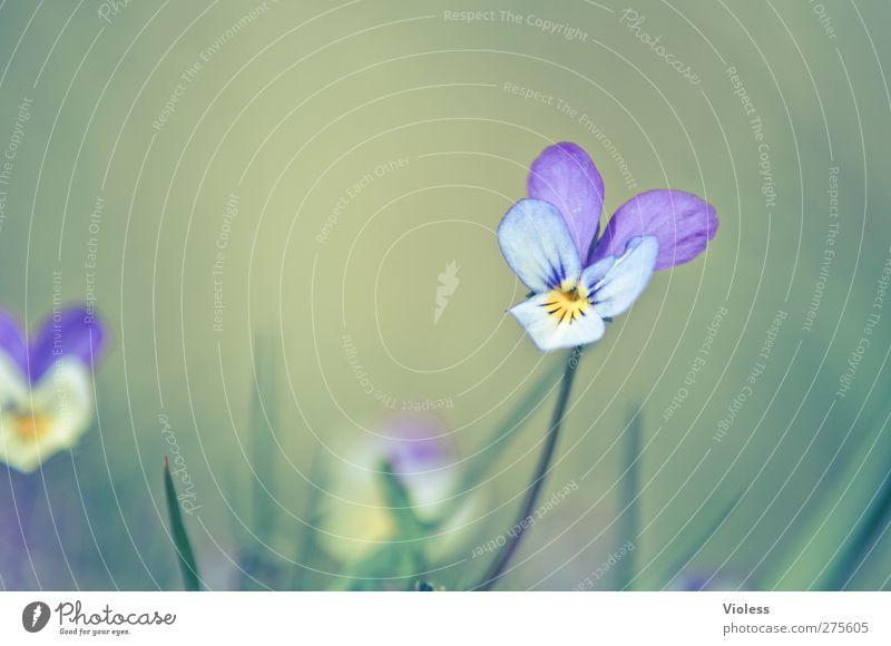Hiddensee | ...verträumt Umwelt Natur Pflanze Blüte träumen Stiefmütterchen Duftveilchen Veilchengewächse Farbfoto mehrfarbig Außenaufnahme Detailaufnahme