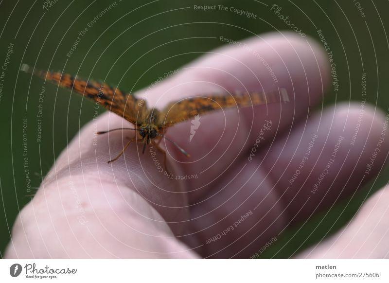 handsome Hand Finger 1 Mensch Tier Wildtier Schmetterling beobachten berühren nah braun grün Leichtigkeit Pause Gedeckte Farben Außenaufnahme Tag