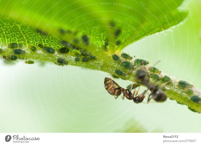 Zuchtspaziergang Natur Pflanze Tier Sommer Blatt Wildpflanze Wiese Wald 1 Tiergruppe grün Ameise Insekt Blattläuse Brennnessel Brennnesselblatt Symbiose