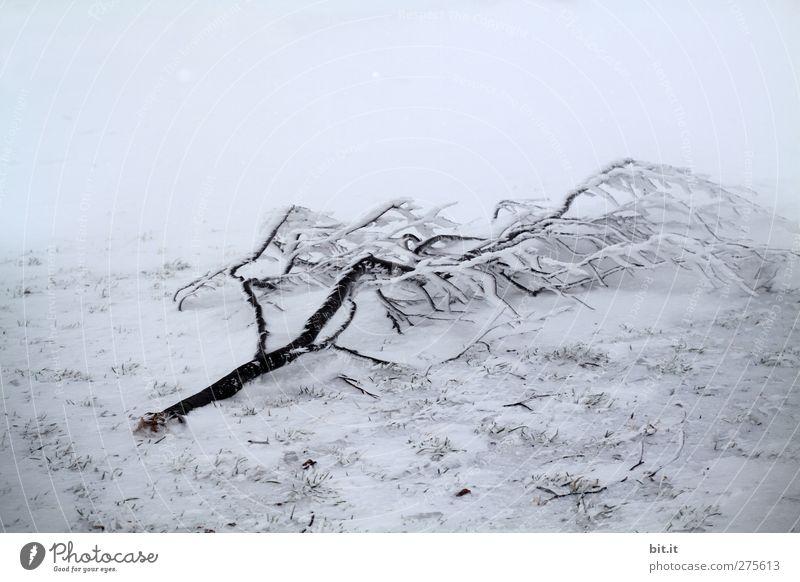 Schneebesen Umwelt Natur Pflanze Winter Klima schlechtes Wetter Eis Frost Wald frieren liegen kalt kaputt blau grau weiß Stimmung ruhig träumen Schneelandschaft