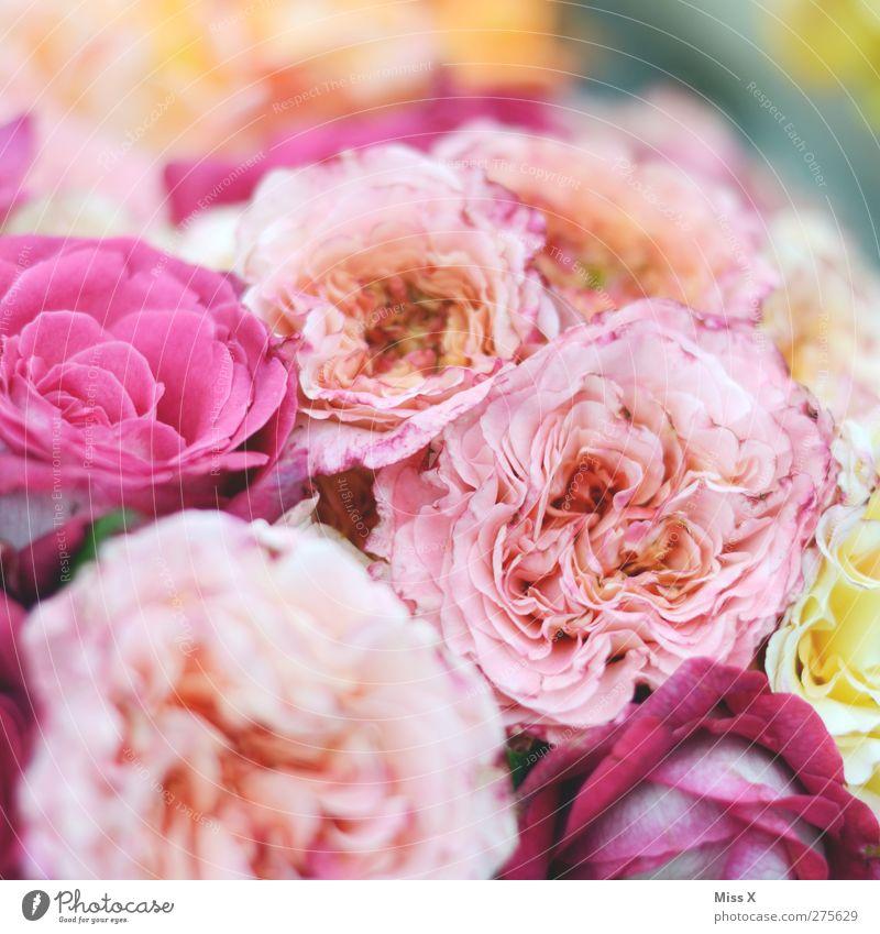 rosig Pflanze Frühling Sommer Blume Rose Blüte Blühend Duft rosa Blumenstrauß Farbfoto mehrfarbig Nahaufnahme Muster Strukturen & Formen Menschenleer