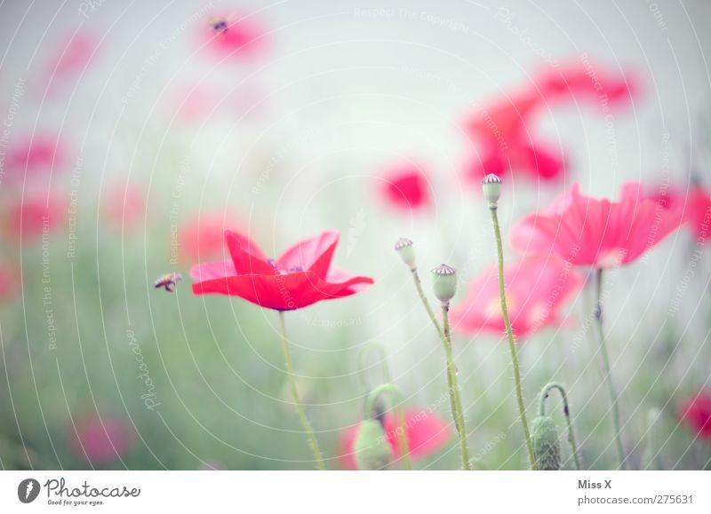 poppy Natur Sommer rot Pflanze Blume Blatt Wiese Blüte Blühend Biene Mohn Duft Mohnfeld Mohnblüte Mohnkapsel