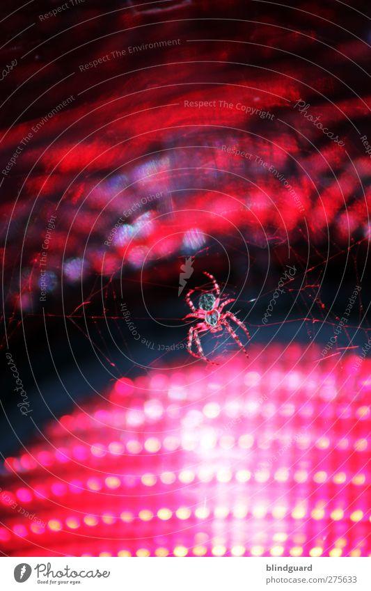 Red Lights Tier Ampel Spinne 1 Glas hängen Ekel fest rosa rot schwarz Entsetzen warten Insekt arachnophobie Lampe Verkehrszeichen Netz Spinnennetz Farbfoto