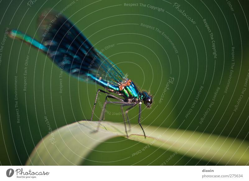 Learn to fly Umwelt Natur Pflanze Blatt Tier Wildtier Flügel Libelle Libellenflügel Insekt 1 sitzen warten glänzend klein natürlich Farbfoto Außenaufnahme