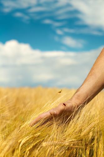 Landliebe Landwirtschaft Forstwirtschaft Hand Umwelt Natur Landschaft Himmel Sommer Pflanze Nutzpflanze Ernte reif Kornfeld Getreidefeld Roggenähren Ackerbau