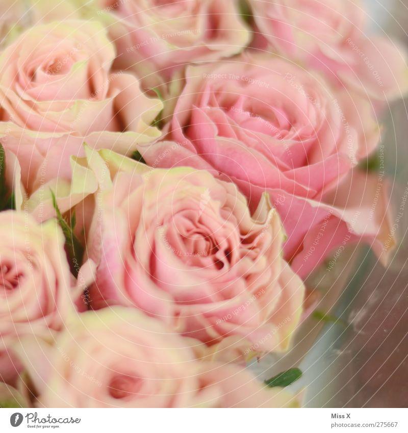 Blumig Pflanze Blume Rose Blüte rosa Blumenstrauß Romantik Verliebtheit Farbfoto Nahaufnahme Muster Strukturen & Formen Menschenleer Schwache Tiefenschärfe