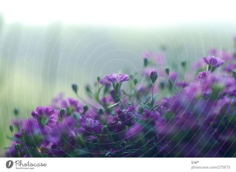Lila Blüten strecken sich zum Licht Pflanze Blume Blühend Duft violett Hoffnung Umwelt Wachstum Farbfoto Außenaufnahme Nahaufnahme Detailaufnahme Makroaufnahme
