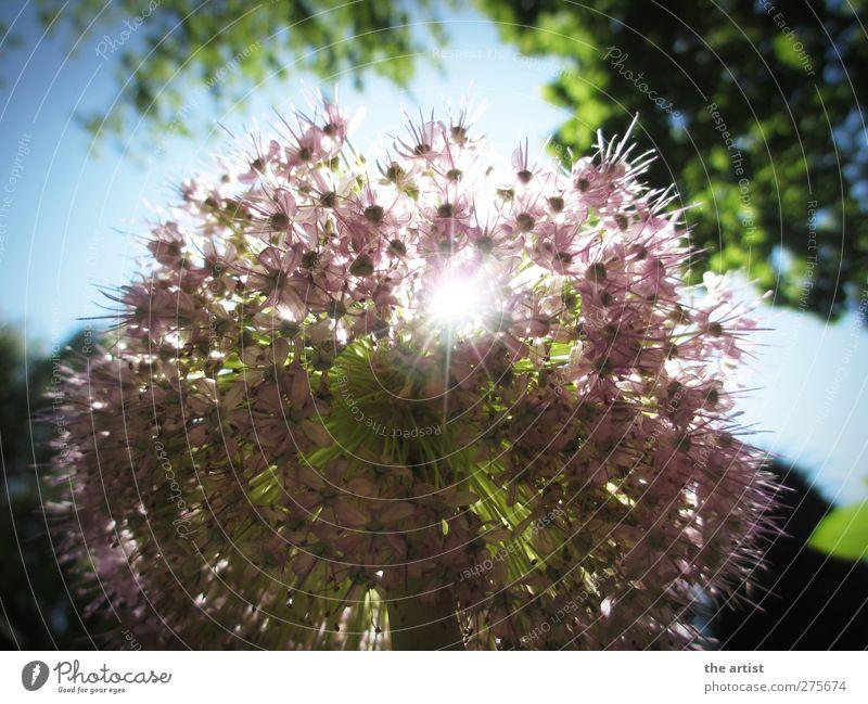 Blütenzauber Natur Pflanze Himmel Wolkenloser Himmel Sonne Sonnenlicht Sommer Blume Zierlauch Duft frei Freundlichkeit hell blau grün violett Fröhlichkeit