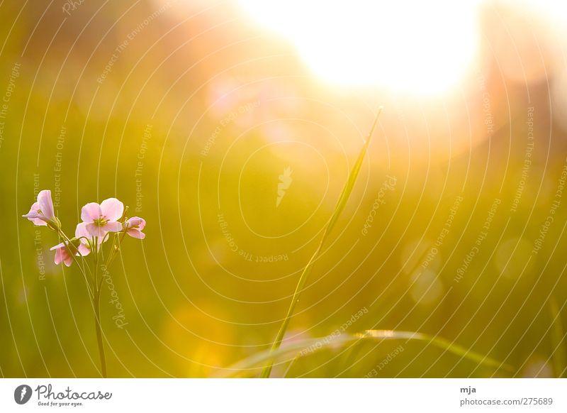 Blume auf der Wiese schön Pflanze Sonne gelb Wärme Gefühle Frühling Gras Garten Stimmung Zufriedenheit außergewöhnlich gold ästhetisch