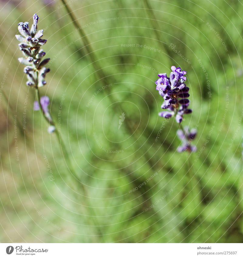 Lavendel Sommer Pflanze Blüte Garten violett Duft