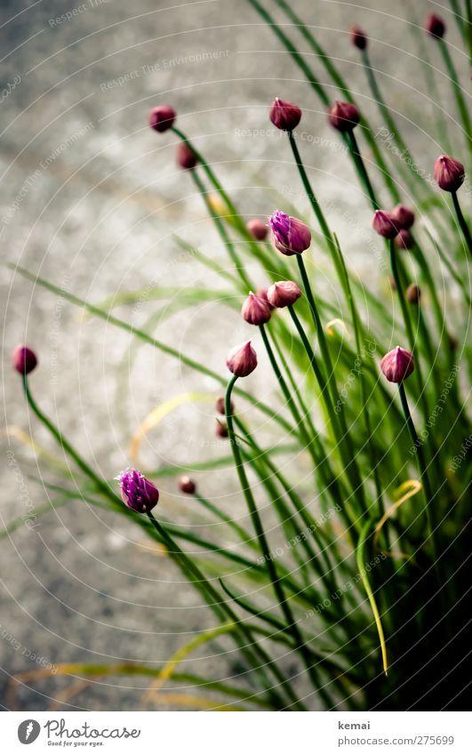 Schnittlauch mit Blüten Lebensmittel Kräuter & Gewürze Bioprodukte Natur Pflanze Nutzpflanze Garten Blühend Wachstum grün violett Blütenknospen Farbfoto