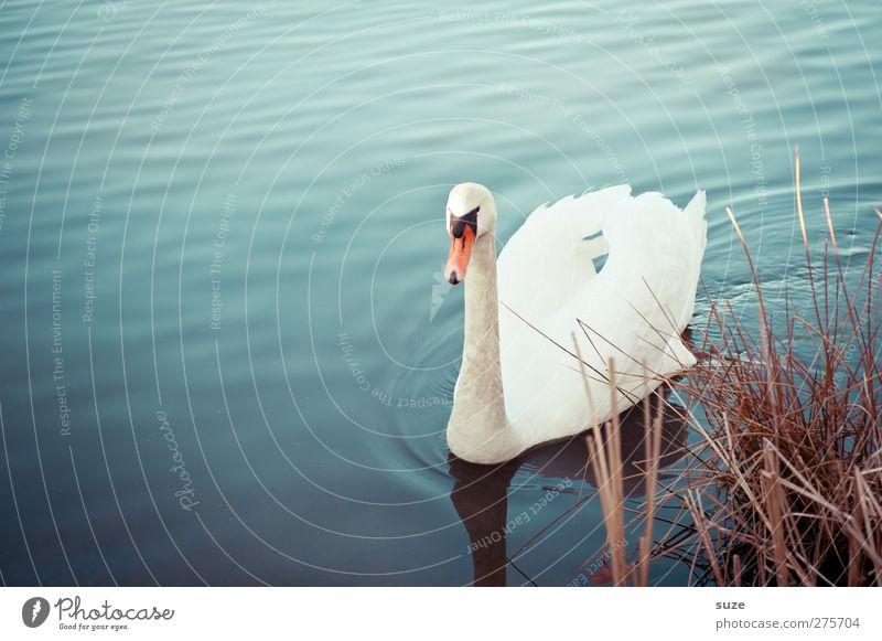 Mein lieber Schwan Umwelt Natur Tier Wasser Gras Seeufer Wildtier Vogel 1 beobachten Schwimmen & Baden ästhetisch schön blau weiß Stimmung Feder Schwanensee