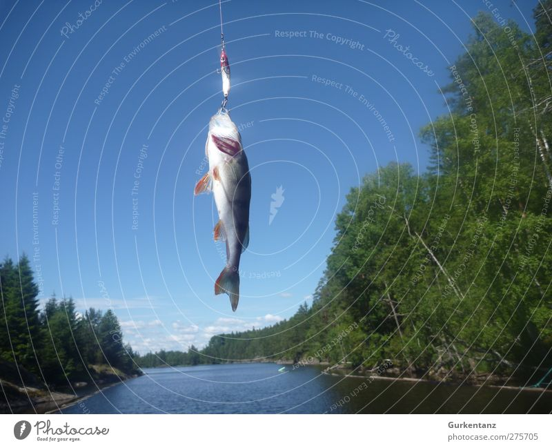 Himmelfahrtskommando Natur Ferien & Urlaub & Reisen Erholung Tier Freiheit fliegen Erfolg Fisch Fluss Jagd Angeln Skandinavien Ruderboot Norwegen Schuppen Angelrute