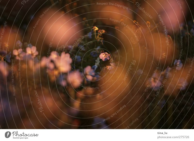 straßenrand-romantik Natur Pflanze Sonnenaufgang Sonnenuntergang Sommer Blume Blatt Blüte Wildpflanze Feld fantastisch schön gold grün violett rosa Farbfoto