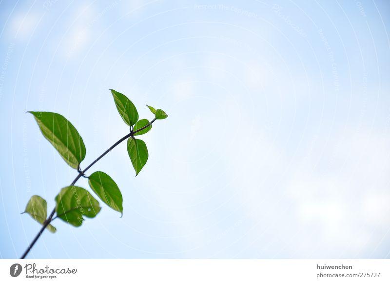 up to the sky Natur Himmel Frühling Pflanze Blatt frisch Gesundheit positiv schön blau grün Kraft Leben Beginn Freiheit Hoffnung Lebensfreude Mut Zukunft vivid