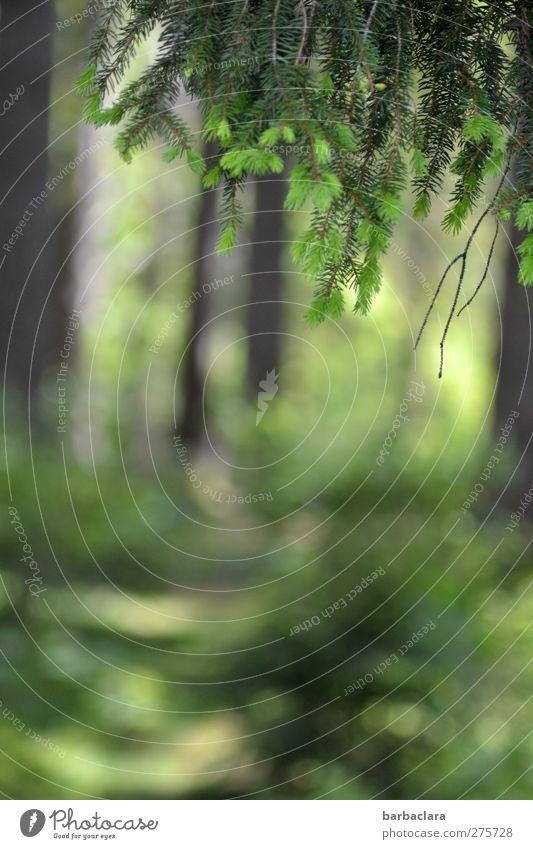 frische Waldluft genießen Natur Schönes Wetter Baum Tannen Fichten Schwarzwald leuchten Duft hell natürlich grün Stimmung Zufriedenheit ruhig Erholung